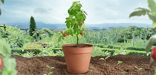 Cultivez Vos Tomates Heinz 2017