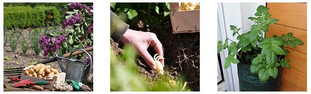 kits de plantation de pommes de terre Pompadour à gagner