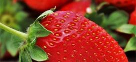 Lidl : Barquette de 500g de fraises origine France à 2,49€